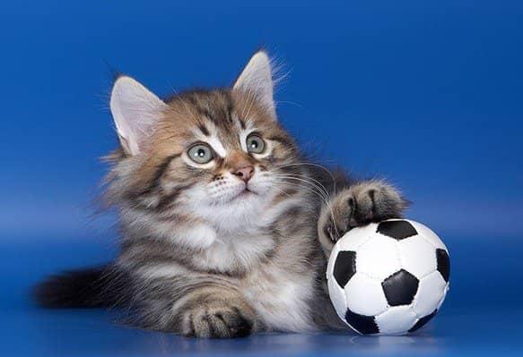 Кот с мячом позирует